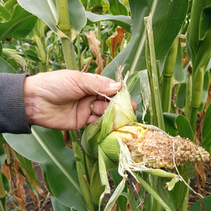 Corn damaged by birds
