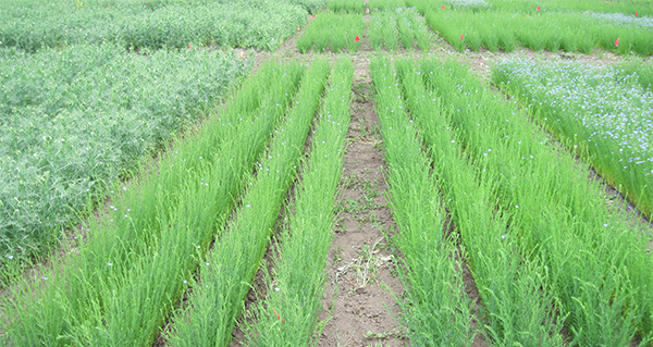 flax in northern Alberta