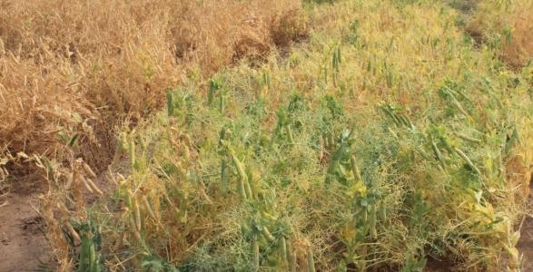 Matured field peas
