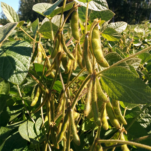 Growing soybean in Northern Alberta