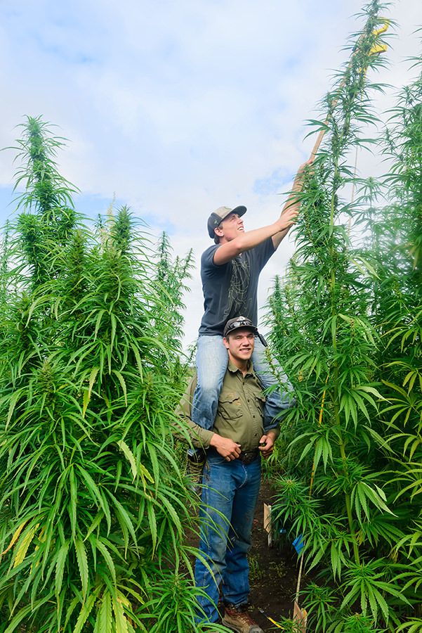 Measuring height of hemp