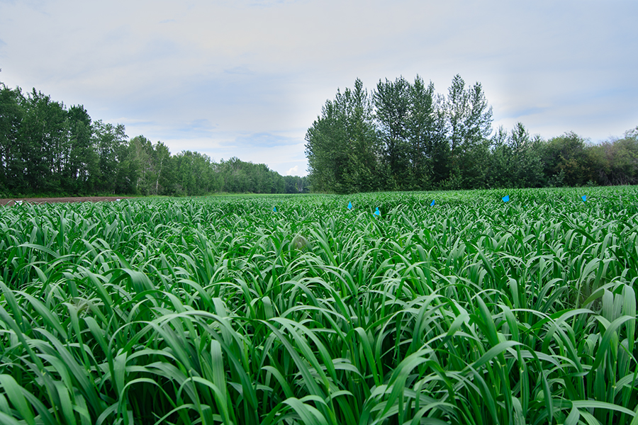 Federal organic oats breeding project