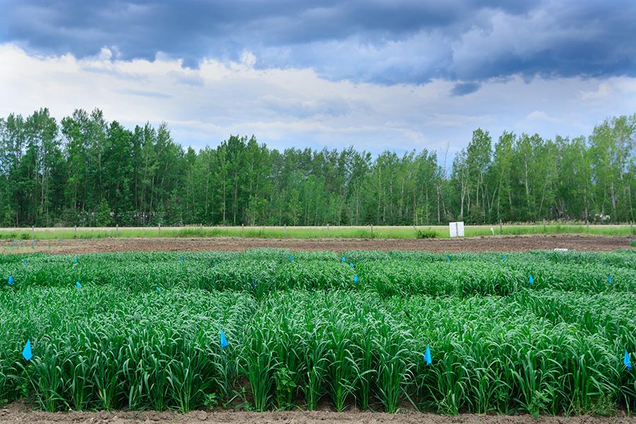 Organic farming in northern Alberta