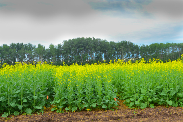Canola at early flowering stage