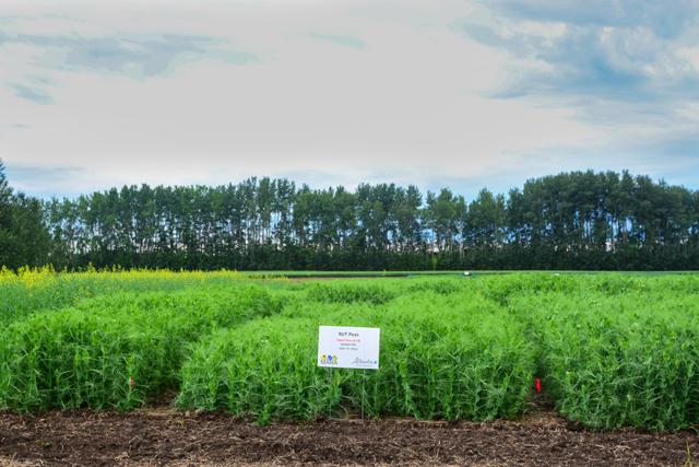 Regional variety trials field peas